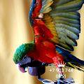 Арлекин (гибрид попугаев ара)  - птенцы из питомников Европы
