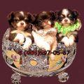 Чихуахуа продажа красивых, шоколадных щенков