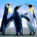 Пингвины из питомников