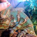 Йеменский хамелеон - Chamaeleo calyptratus